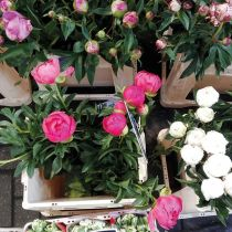 Pinke Pfingstrosen, weiße Pfingstrosen, weiße Tulpen in Eimern